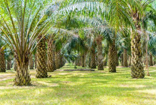 43119893-plantation-de-palmiers-à-huile-en-grandissant